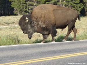 Another view of the buffalo that almost took me out, Yellowstone, 8-2013