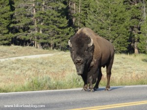 Buffalo blocking road in Yellowstone National Park